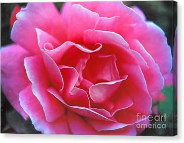 Canvas Print featuring the photograph Peggy Lee Rose Bridal Pink by David Zanzinger