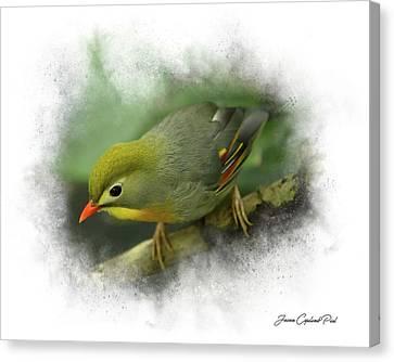 Pekin Robin Canvas Print