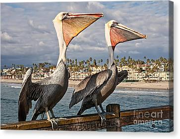 Pelican - A Happy Landing Canvas Print