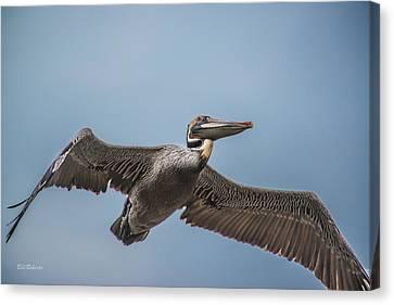 Pelican Briefly Canvas Print