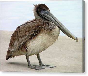 Pelican Close-up Canvas Print by Al Powell Photography USA