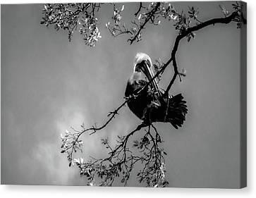Pelican Connection Canvas Print
