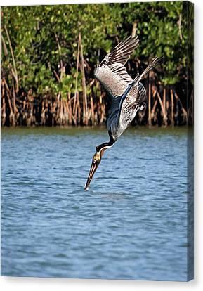 Pelican Dive Canvas Print by Dawn Currie