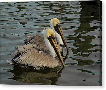 Canvas Print featuring the photograph Pelican Duo by Jean Noren