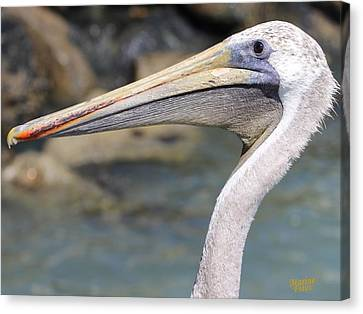 Pelican Face  That Only A Mother Could Love Canvas Print