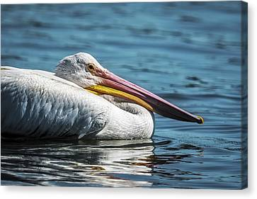 Pelican Floating By Canvas Print by Paul Freidlund