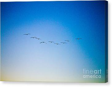Pelican Flock Canvas Print by J Darrell Hutto
