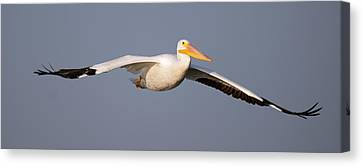 Flying White Pelicans Canvas Print - Pelican Gliding In by Gary Langley