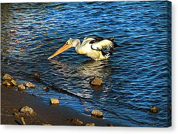 Pelican In Action Canvas Print by Susan Vineyard