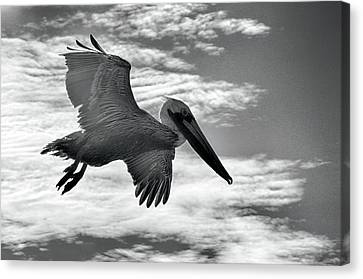 Canvas Print featuring the photograph Pelican In Flight by AJ Schibig