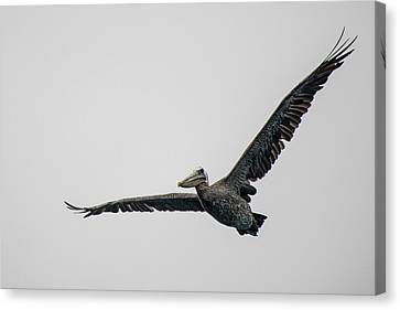 Pelican In Flight Canvas Print by Bill Mock