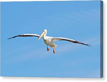 Pelican In Flight Canvas Print by Mark Andrew Thomas