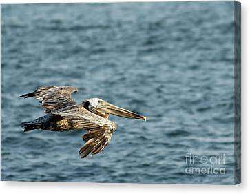 Canvas Print - Pelican In Flight by Natural Focal Point Photography
