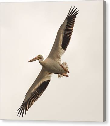 Pelican In Flight Canvas Print by Paul Freidlund