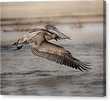 Pelican In The Air Canvas Print