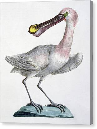 Pelican Canvas Print by Italian School