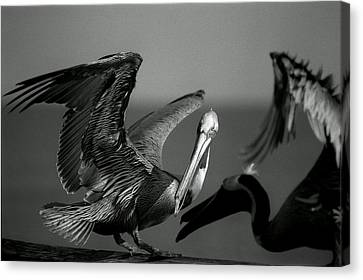 Pelican Canvas Print by Jane Melgaard