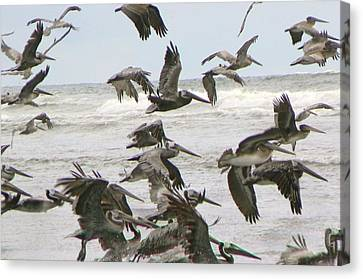 Canvas Print featuring the photograph Pelican Migration  by Pamela Patch