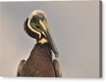 Pelican  Canvas Print by Nancy Landry