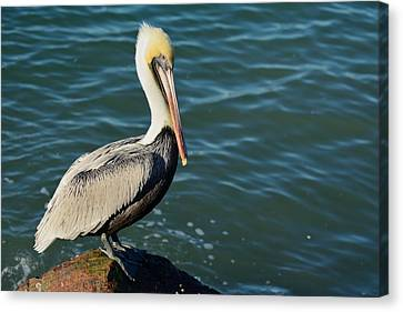 Canvas Print featuring the photograph Pelican On A Rock by Bradford Martin