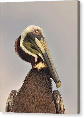 Pelican Portrait Canvas Print by Nancy Landry