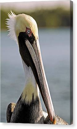 Pelican Portrait Canvas Print by Sally Weigand