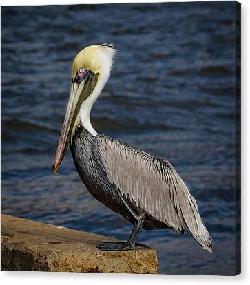 Canvas Print featuring the photograph Pelican Profile 2 by Jean Noren
