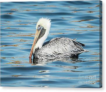 Pelican Relaxing Canvas Print by Scott and Dixie Wiley