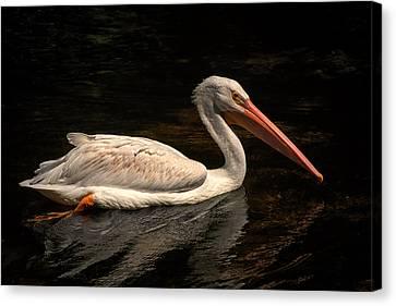 Pelican Swimming In Salisbury Canvas Print