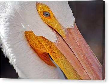 Pelican Twist Canvas Print by Marty Koch