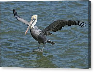 Canvas Print featuring the photograph Pelican Walks On Water by Bradford Martin