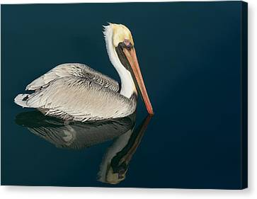 Canvas Print featuring the photograph Pelican With Reflection by Bradford Martin