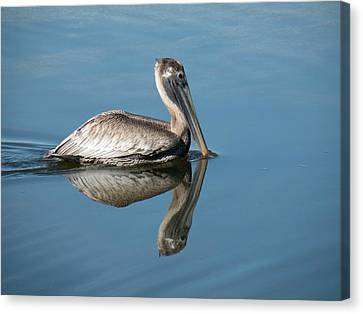 Pelican With Reflection Canvas Print by Rosalie Scanlon