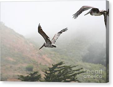 Bif Canvas Print - Pelicans In The Fog by Wingsdomain Art and Photography