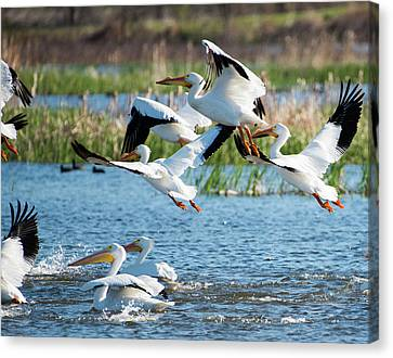 Pelicans Canvas Print by Joel Wise