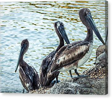 Panama City Beach Canvas Print - Pelicans On Rocks 2 by Debra Forand