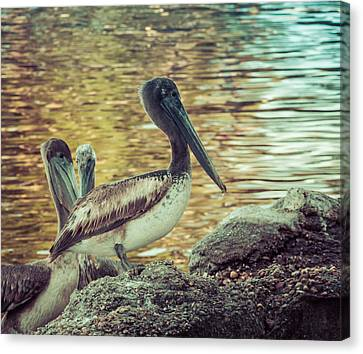 Panama City Beach Canvas Print - Pelicans On Rocks 3 by Debra Forand
