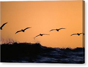 Pelicans Over The Pacific Canvas Print by Michael Mogensen