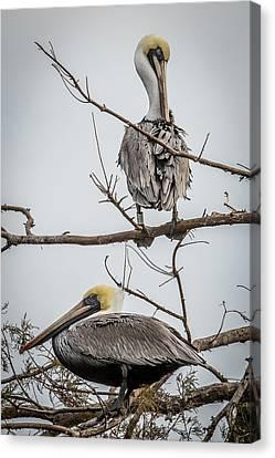 Bif Canvas Print - Pelicans Roosting by Paul Freidlund