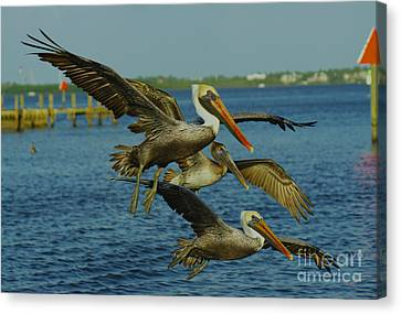Pelicans Three Amigos Canvas Print