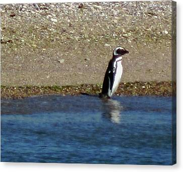 Argentina Canvas Print - Penguin On The Beach by Sandy Taylor