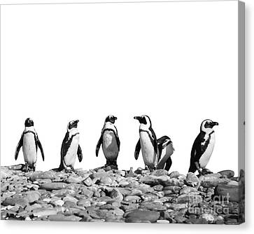 Penguins Canvas Print by Delphimages Photo Creations