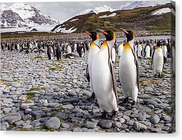 Penguins Of Salisbury Plain Canvas Print