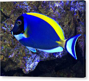 Blue Tang Fish  Canvas Print