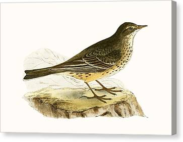 Pennsyvlanian Pipit Canvas Print by English School