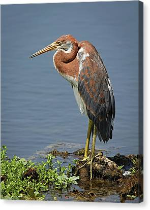 Pensive Canvas Print by Dawn Currie