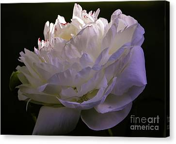 Peony At Eventide Canvas Print
