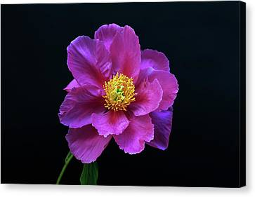 Peony - Beautiful Flowers And Decorative Foliage On The Right Is One Of The First Places Among The G Canvas Print