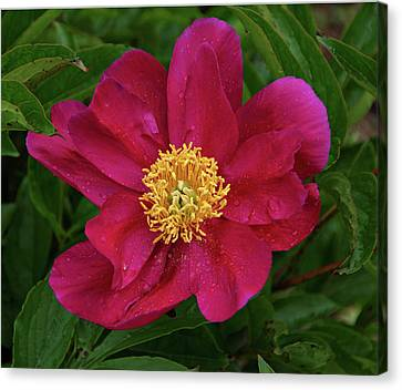 Canvas Print featuring the photograph Peony In Rain by Sandy Keeton