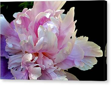 Peony On Black Canvas Print